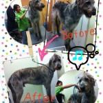 ★世界一大きなお客さんアイリッシュウルフハウンド犬